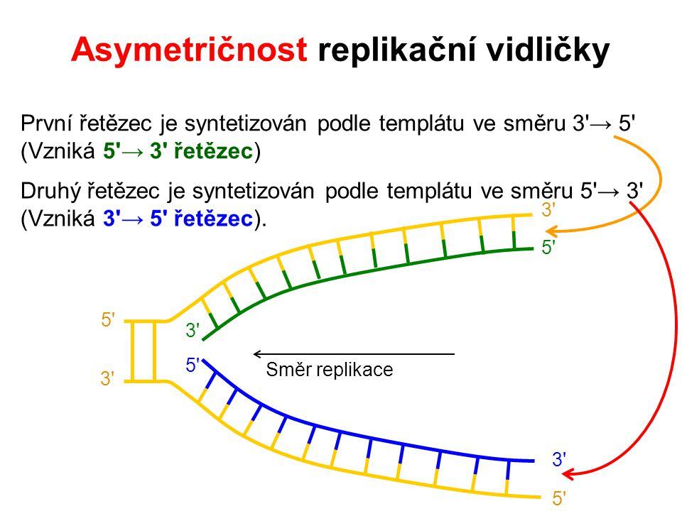 První řetězec je syntetizován podle templátu ve směru 3 → 5 (Vzniká 5 → 3 řetězec) Druhý řetězec je syntetizován podle templátu ve směru 5 → 3 (Vzniká 3 → 5 řetězec).