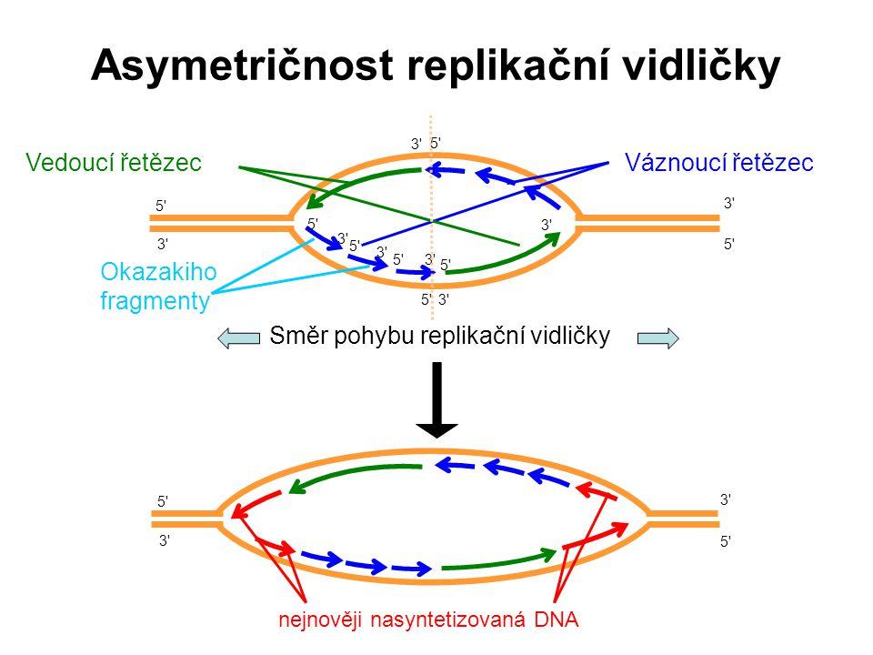 Váznoucí řetězec Okazakiho fragmenty 5 5 5 5 3 3 3 3 Vedoucí řetězec Asymetričnost replikační vidličky 5 5 5 5 5 5 5 5 3 3 3 3 3 3 3 3 5 5 3 3 5 5 3 3 nejnověji nasyntetizovaná DNA Směr pohybu replikační vidličky 3 3 3 3 5 5 5 5