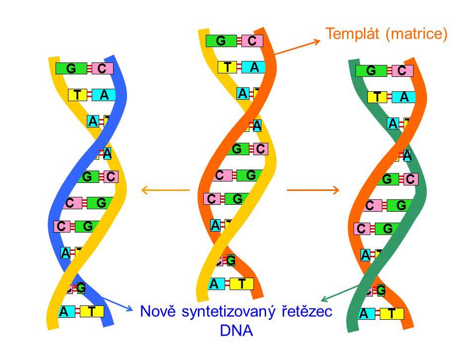 A T T G GC G T A C GC T A A C C A T G A T T G GC G T A C GC T A A C C A T G A T T G GC G T A C GC T A A C C A T G Nově syntetizovaný řetězec DNA Templát (matrice)
