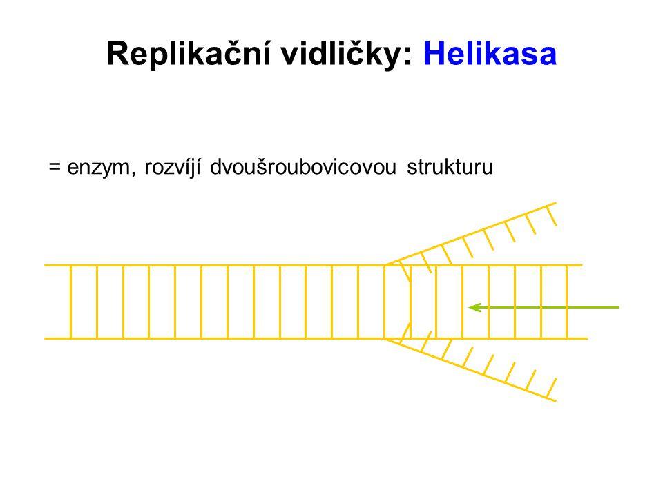 = enzym, rozvíjí dvoušroubovicovou strukturu Replikační vidličky: Helikasa