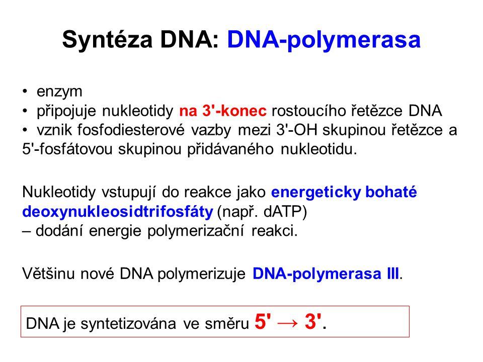 Syntéza DNA: DNA-polymerasa Většinu nové DNA polymerizuje DNA-polymerasa III.