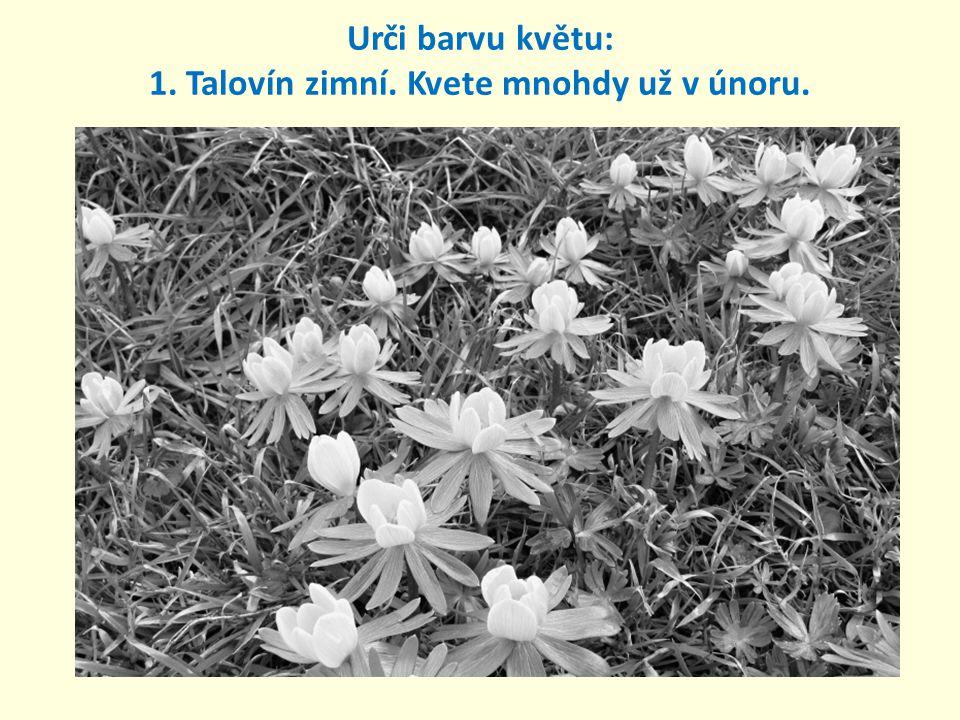 1. Talovín zimní. Kvete mnohdy už v únoru. Urči barvu květu: žlutá Urči barvu květu: žlutá