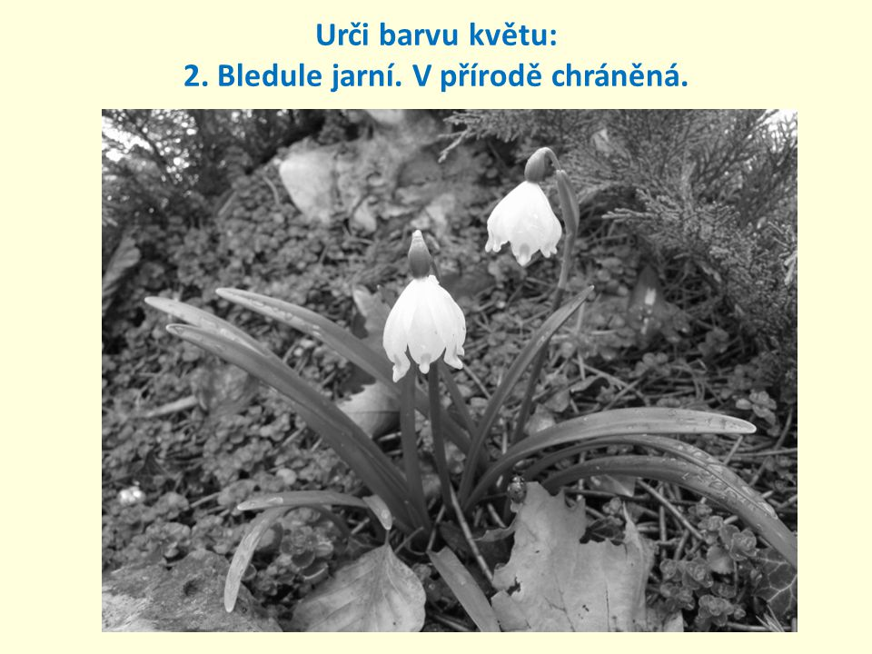 2. Bledule jarní. V přírodě chráněná. Urči barvu květu: bílá