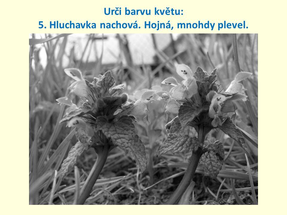 5. Hluchavka nachová. Hojná, mnohdy plevel. Urči barvu květu: růžová až fialová