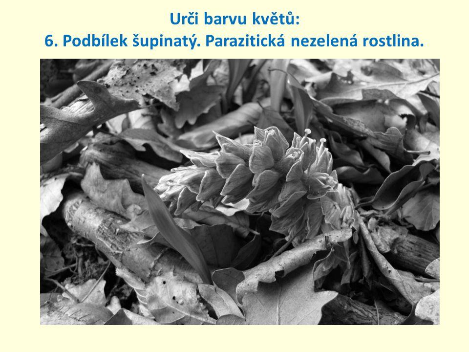 6. Podbílek šupinatý. Parazitická nezelená rostlina. Urči barvu květů: růžová až fialová