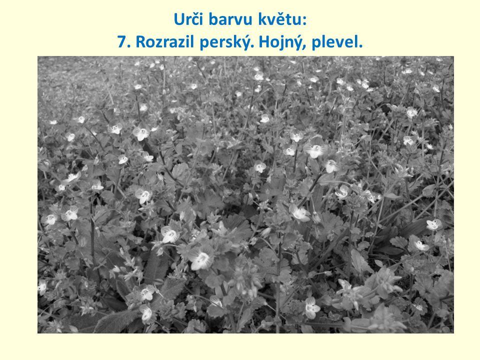 7. Rozrazil perský. Hojný, plevel. Urči barvu květu: modrá