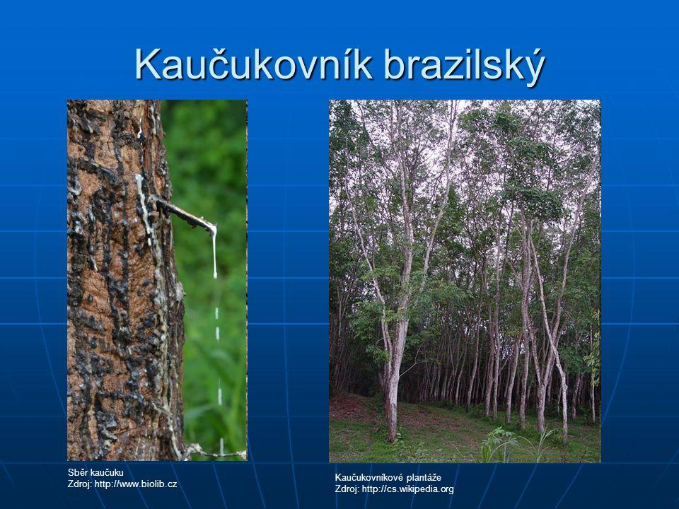 Kaučukovník brazilský Sběr kaučuku Zdroj: http://www.biolib.cz Kaučukovníkové plantáže Zdroj: http://cs.wikipedia.org