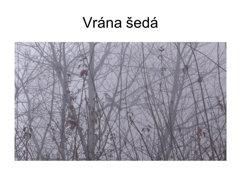 Vrána šedá
