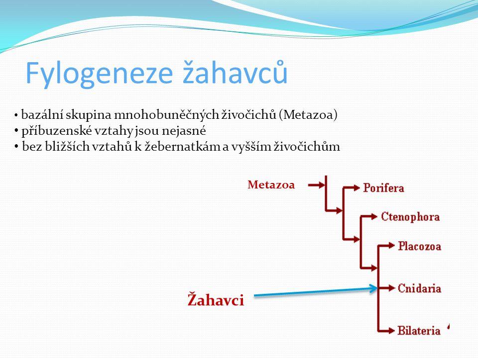 Životní cyklus V životním cyklu se střídají dvě stadia stádium polypa a medúzy - rodozměna (metageneze ) polyp  přisedlá forma  vakovité tělo  tenká vrstva mezogley  nožní terč, tělo, ústní terč, chapadla kolem úst  na chapadlech žahavé buňky  množí se obvykle nepohlavně  u polypovců převažuje stádium polypa