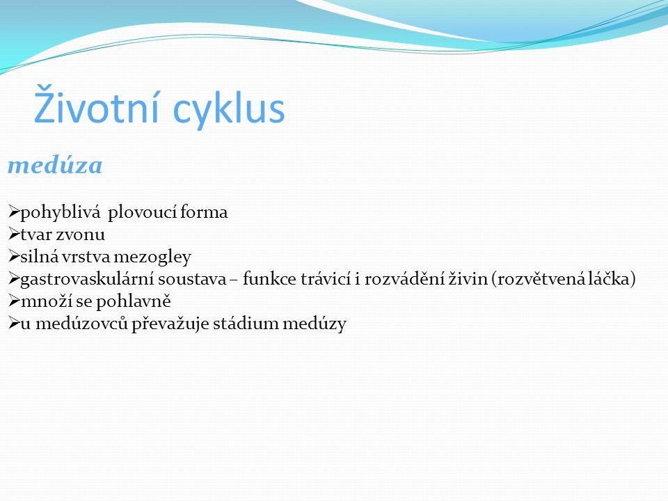 Životní cyklus medúza  pohyblivá plovoucí forma  tvar zvonu  silná vrstva mezogley  gastrovaskulární soustava – funkce trávicí i rozvádění živin (rozvětvená láčka)  množí se pohlavně  u medúzovců převažuje stádium medúzy