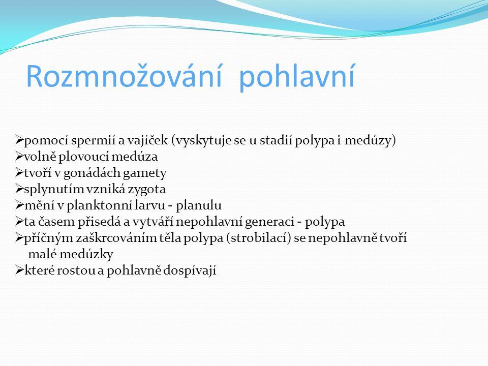 Rozmnožování pohlavní  pomocí spermií a vajíček (vyskytuje se u stadií polypa i medúzy)  volně plovoucí medúza  tvoří v gonádách gamety  splynutím vzniká zygota  mění v planktonní larvu - planulu  ta časem přisedá a vytváří nepohlavní generaci - polypa  příčným zaškrcováním těla polypa (strobilací) se nepohlavně tvoří malé medúzky  které rostou a pohlavně dospívají