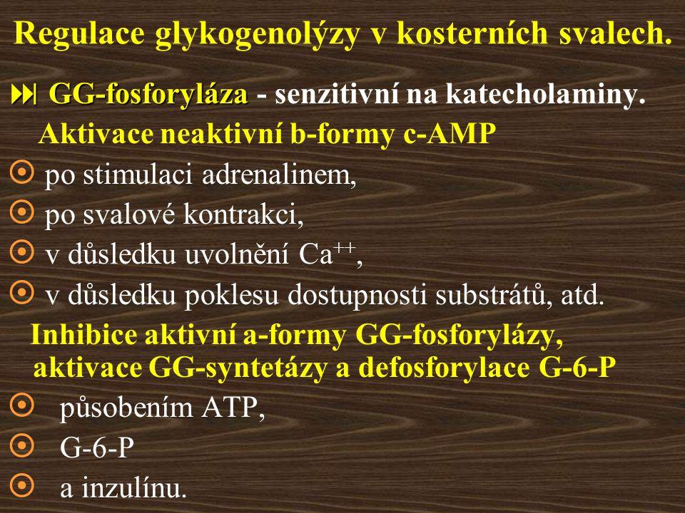 Regulace glykogenolýzy v kosterních svalech.  GG-fosforyláza  GG-fosforyláza - senzitivní na katecholaminy. Aktivace neaktivní b-formy c-AMP  po st