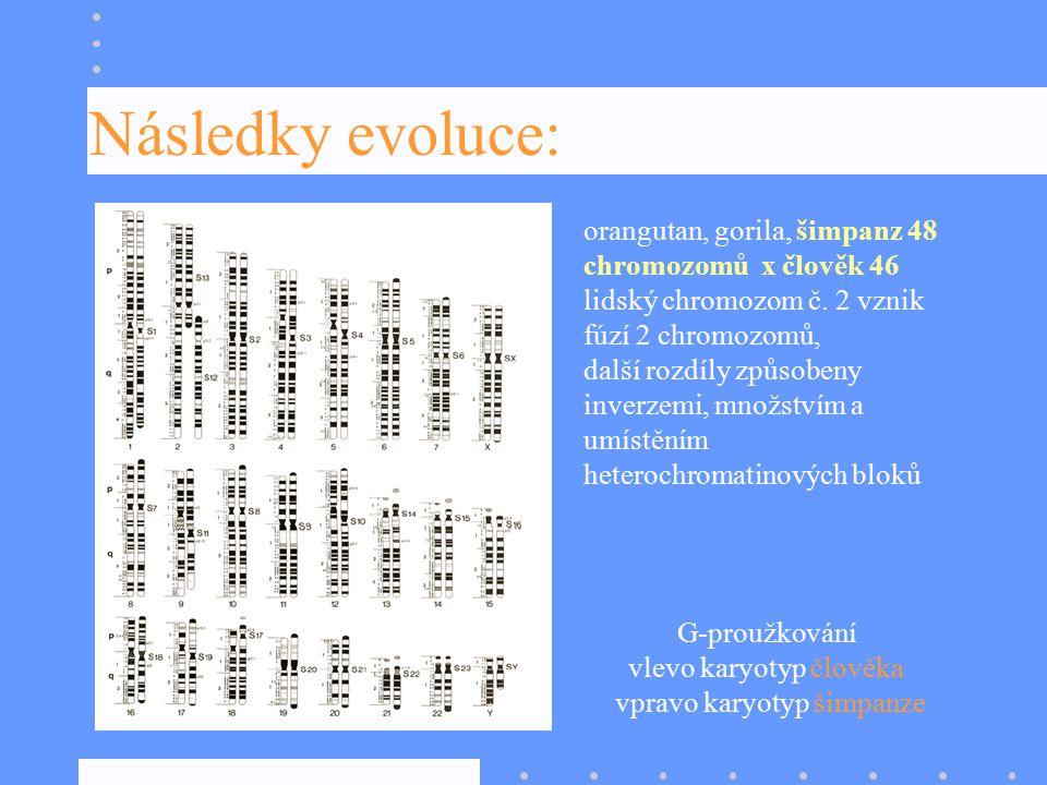 Následky evoluce: orangutan, gorila, šimpanz 48 chromozomů x člověk 46 lidský chromozom č. 2 vznik fúzí 2 chromozomů, další rozdíly způsobeny inverzem