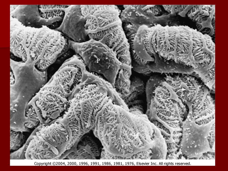 Klinické dělení glomerulonefritid Akutní GN Akutní GN –Akutní postinfekční (endokapilární) GN Rychle progredující GN Rychle progredující GN –Goodpastureův sy (antirenální RPGN) –ANCA pozitivní RPGN (mikroskopické vaskulitidy) –Imunokomplexové RPGN Chronické GN Chronické GN –Idiopatický nefrotický syndrom  Minimální změny glomerulů  Fokální a segmentální glomeruloskleróza  Membranózní nefropatie –Proliferativní GN  Mezangioproliferativní GN (nejčastěji IgAN)  Membranoproliferatinví GN Sekundární GN Sekundární GN –Lupusová nefritida –Henoch-Schönleinova vaskulitida