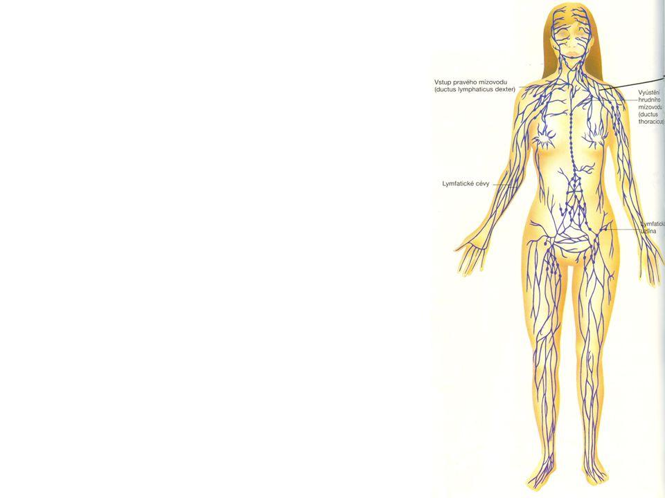 SLEZINA největší lymfatický orgán v těle