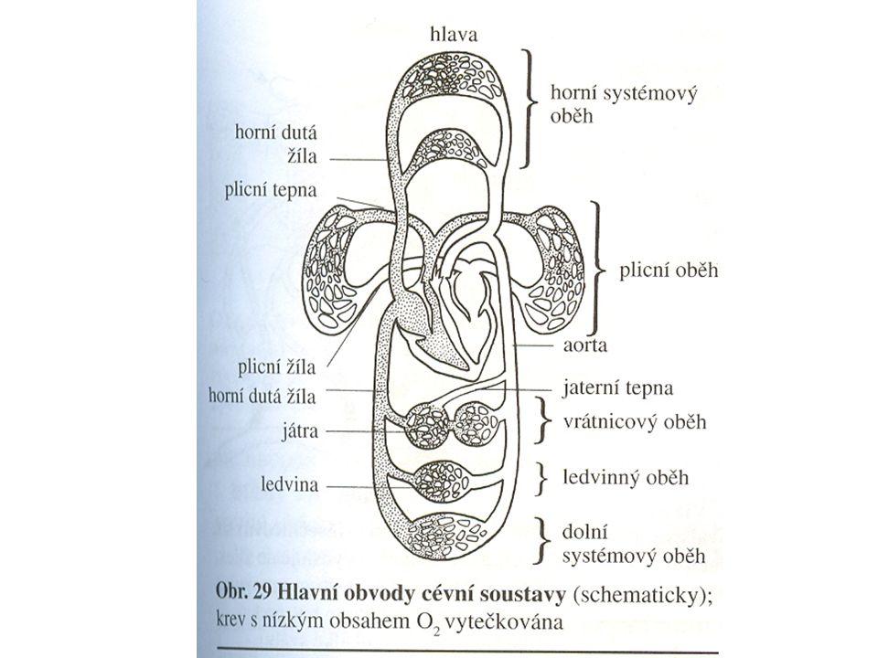 SRDCE pracuje jako tlakové čerpadlo na jeho výkonu se podílí složka: STATICKÁKINETICKÁ překonání tlakového rozdílu mezi komorou a aortou nebo plicnicí udílí zrychlení vypuzeného množství krve a jistému množství krve v aortě výkon levé poloviny srdce, která pracuje v podmínkách vyššího tlaku, je odpovídajícím způsobem vyšší v porovnání s výkonem pravého srdce