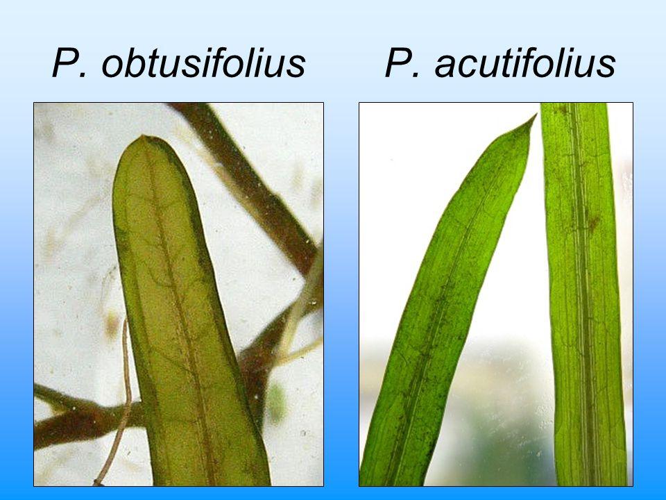P. obtusifoliusP. acutifolius