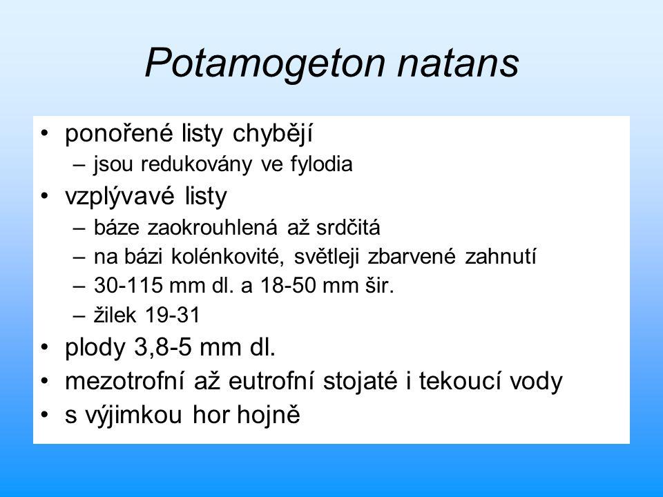 Potamogeton natans ponořené listy chybějí –jsou redukovány ve fylodia vzplývavé listy –báze zaokrouhlená až srdčitá –na bázi kolénkovité, světleji zba
