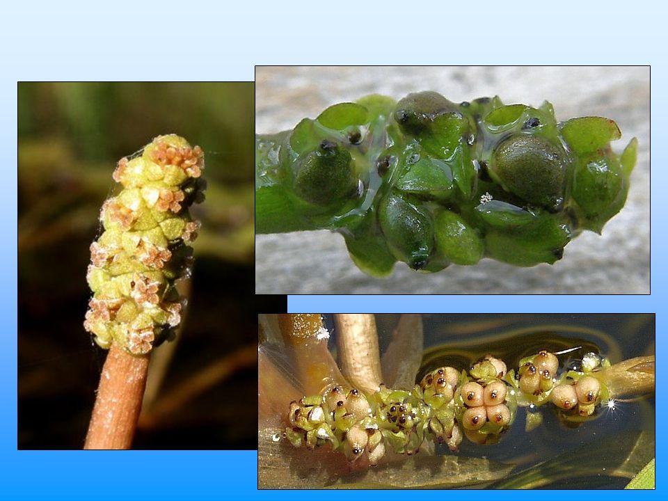 """Ekologie typická vodní makrofyta –výjimečně semiterestrické rostliny velká morfologická variabilita –vliv prostředí (ekomorfózy) mnohé druhy variabilní i v nárocích na prostředí –často """"nerozlišují stojaté a tekoucí vody mnohé druhy v poslední době prudce ustupují –ekologická specializace –submerzní širokolisté druhy – problém průhlednosti některé druhy se šíří –původně druhy přirozeně eutrofních vod"""