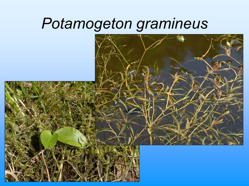 Potamogeton gramineus