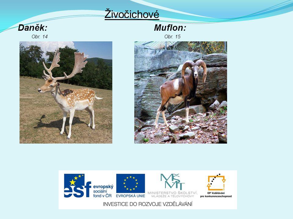 Živočichové Daněk: Muflon: Obr. 14Obr. 15