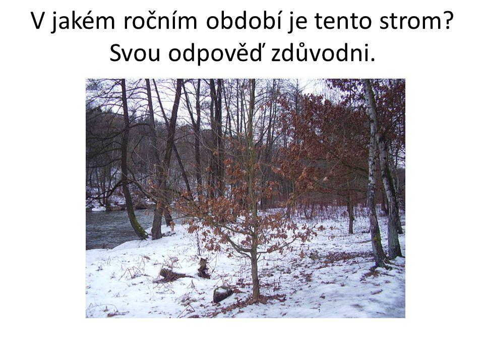 V jakém ročním období je tento strom? Svou odpověď zdůvodni. ZIMA