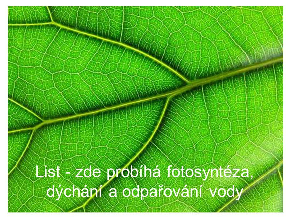 List - zde probíhá fotosyntéza, dýchání a odpařování vody
