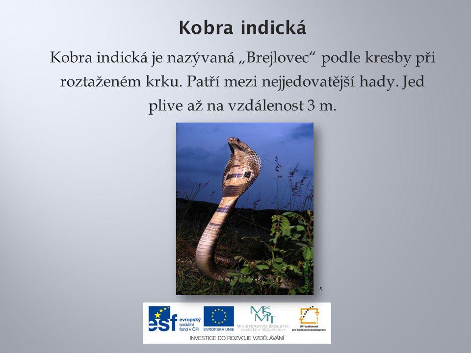 """Kobra indická Kobra indická je nazývaná """"Brejlovec podle kresby při roztaženém krku."""
