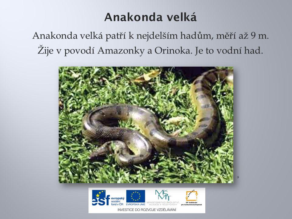 Anakonda velká Anakonda velká patří k nejdelším hadům, měří až 9 m.