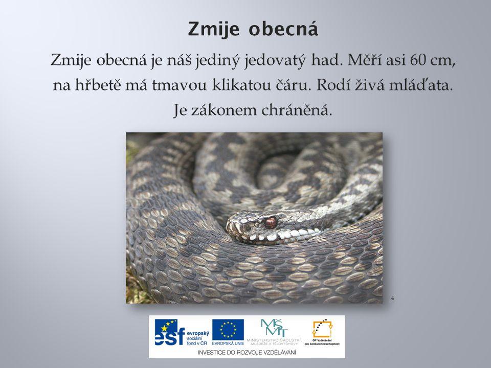 Zmije obecná Zmije obecná je náš jediný jedovatý had. Měří asi 60 cm, na hřbetě má tmavou klikatou čáru. Rodí živá mláďata. Je zákonem chráněná. 4