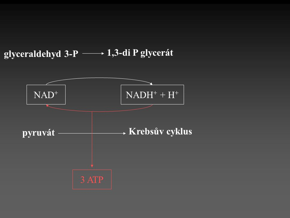 NADH + + H + NAD + 1,3-di P glycerát glyceraldehyd 3-P pyruvát Krebsův cyklus 3 ATP
