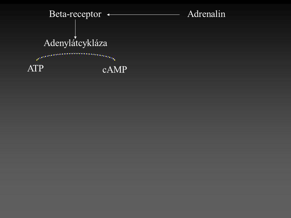 AdrenalinBeta-receptor Adenylátcykláza ATP cAMP
