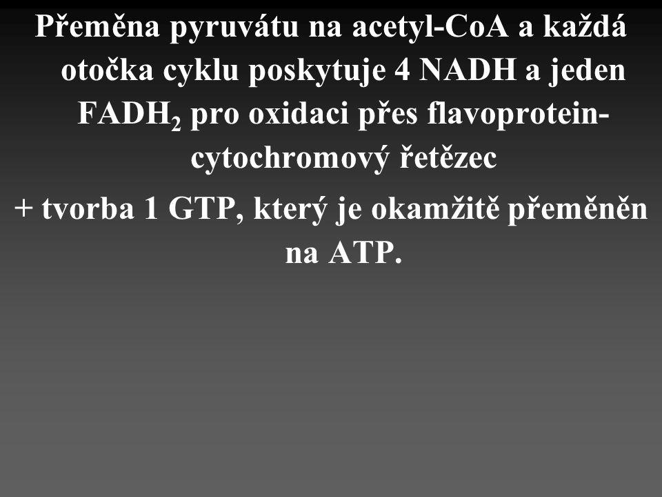 Přeměna pyruvátu na acetyl-CoA a každá otočka cyklu poskytuje 4 NADH a jeden FADH 2 pro oxidaci přes flavoprotein- cytochromový řetězec + tvorba 1 GTP