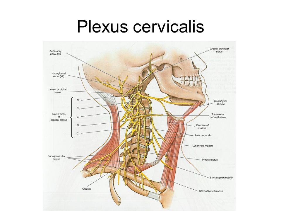 Plexus cervicalis