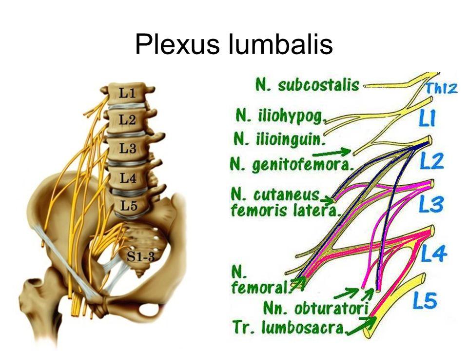 Plexus sacralis