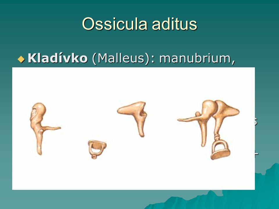 Ossicula aditus  Kladívko (Malleus): manubrium, caput, collum, processus lateralis + anterior  Kovadlina (Incus): corpus, crus longum (processus lenticularis), crus breve  Třmínek (Stapes): caput, crus ant.
