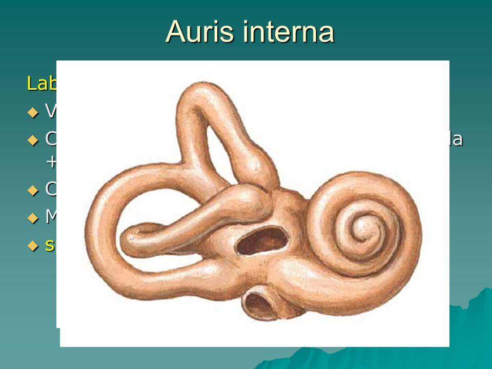 Auris interna Labyrinhtus osseus  Vestibulum  Canales semicirculares (3 roviny) - ampulla + crus  Cochlea  Meatus acusticus internus  spatium per