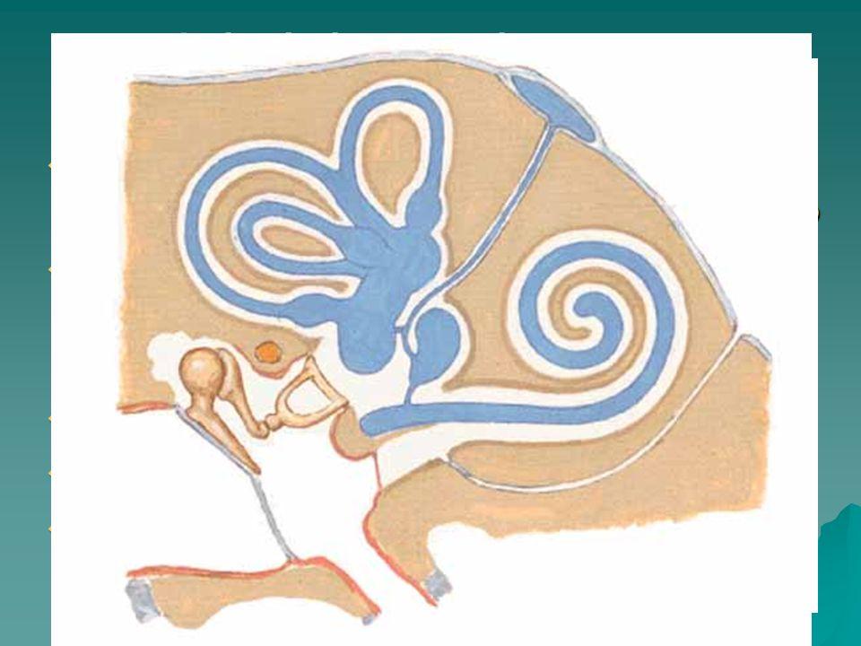Labyrinthus membranaceus  Utriculus + Sacculus –Maculae (otholity CaCO 3 ) – lineární pohyb  Ductus semicirculares (ampullae, crura) – Crista ampullaris – úhlové zrychlení  Ductus utriculosaccularis, reuniens  Ductus + saccus endolyphaticus  Ductus cochlearis