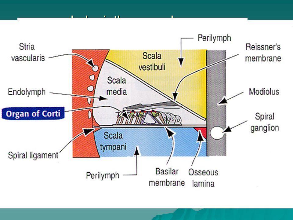 Labyrinthus membranaceus Labyrinhtus cochlearis  scala media = ductus cochlearis  membrana vestibularis Reissneri  paries externus: stria vascularis  crista basilaris, lamina basilaris (tztluštění směrem k cochleae)  membrana tectoria  Organum spirale Corti