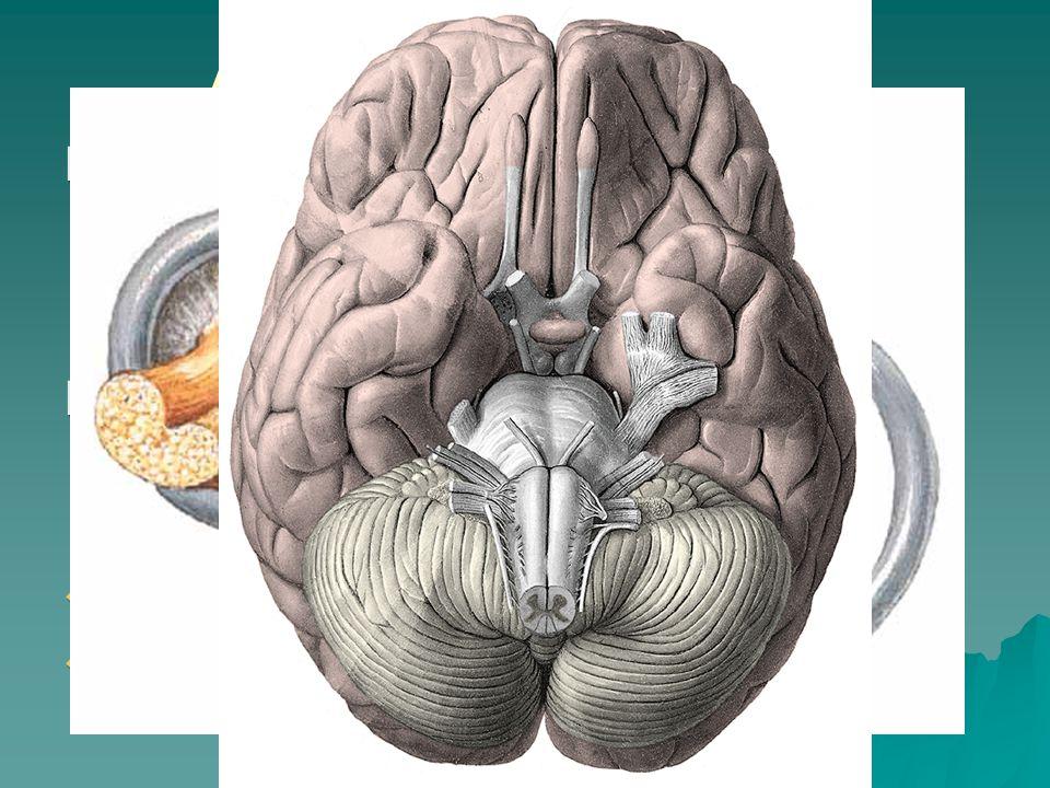 Auris interna - nerves Nervus vestibularis – ggl.vestibulare Scarpae –n.