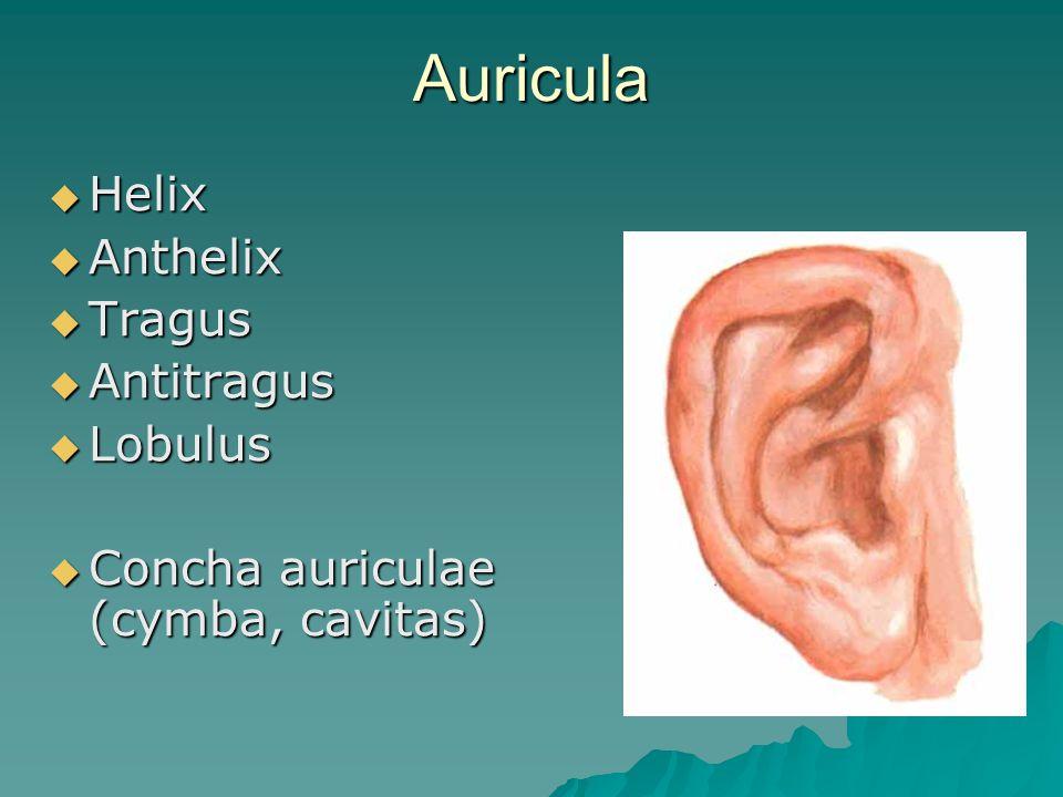 Auricula  Auricula = Pinna  elastická chrupavka  Svaly - rudimentární - n.