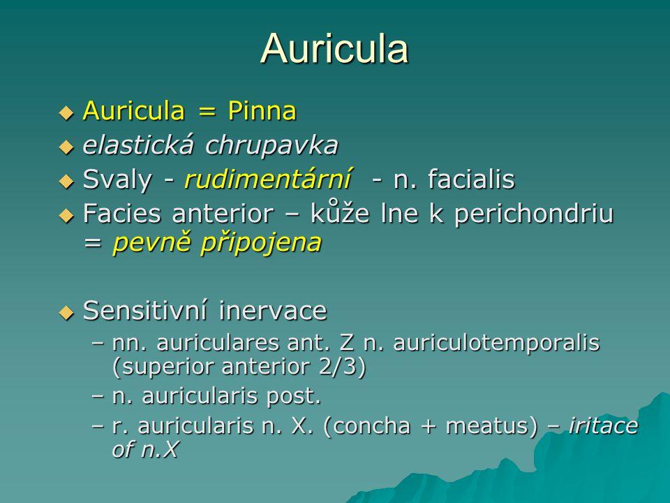 Auricula  Auricula = Pinna  elastická chrupavka  Svaly - rudimentární - n. facialis  Facies anterior – kůže lne k perichondriu = pevně připojena 