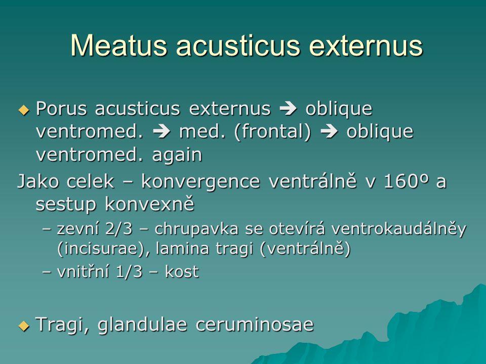 Meatus acusticus externus  Porus acusticus externus  oblique ventromed.  med. (frontal)  oblique ventromed. again Jako celek – konvergence ventrál