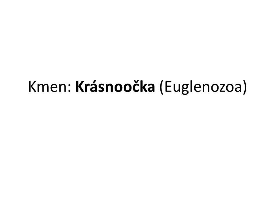 Krásnoočka (Euglenoidea, Euglenophyta, Euglenophyceae), také eugleny, je skupina jednobuněčných eukaryot s bičíkem, řazená do říše Excavata, kmene Euglenozoa.