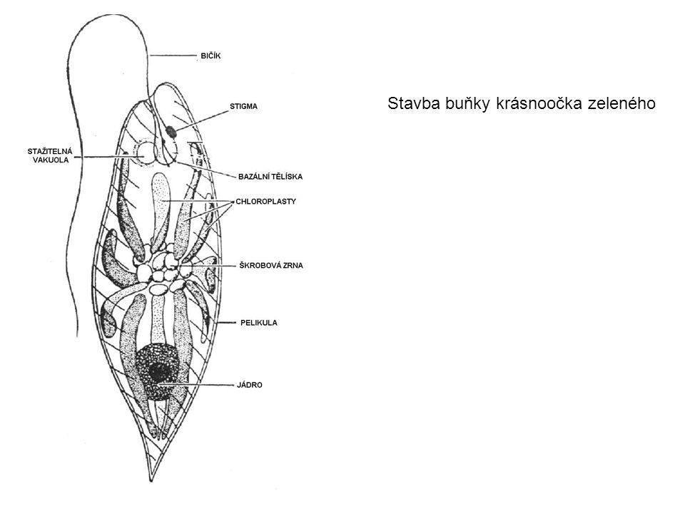 Krásnoočka i ostatní prvoci jsou zdrojem potravy mj. pro akvarijní rybky