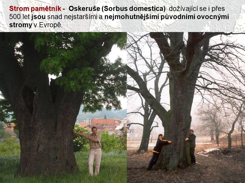 Strom pamětník - Strom pamětník - Oskeruše (Sorbus domestica) dožívající se i přes 500 let jsou snad nejstaršími a nejmohutnějšími původními ovocnými