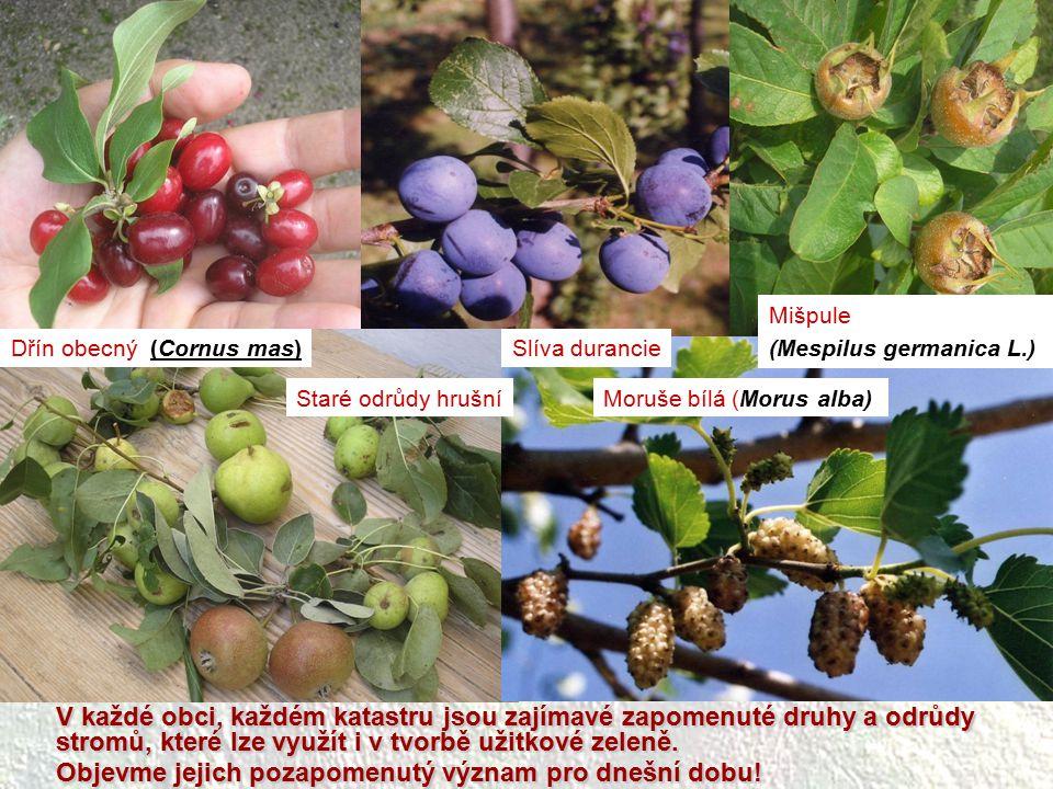 Dřín obecný (Cornus mas)Slíva durancie Mišpule (Mespilus germanica L.) Moruše bílá (Morus alba)Staré odrůdy hrušní V každé obci, každém katastru jsou