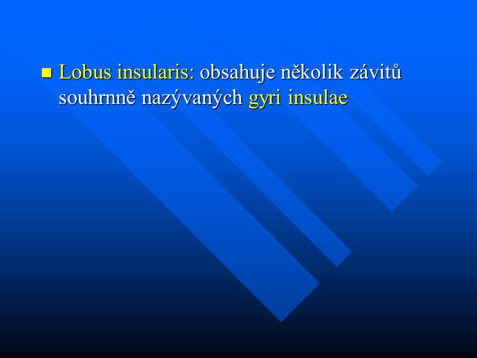 Lobus insularis: obsahuje několik závitů souhrnně nazývaných gyri insulae Lobus insularis: obsahuje několik závitů souhrnně nazývaných gyri insulae