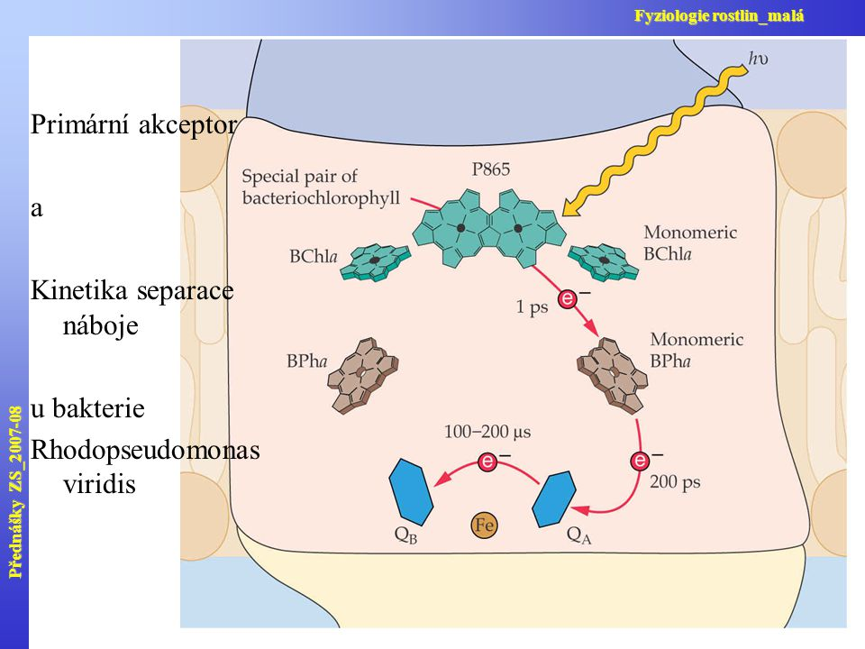 Primární akceptor a Kinetika separace náboje u bakterie Rhodopseudomonas viridis Přednášky ZS_2007-08 Fyziologie rostlin_malá