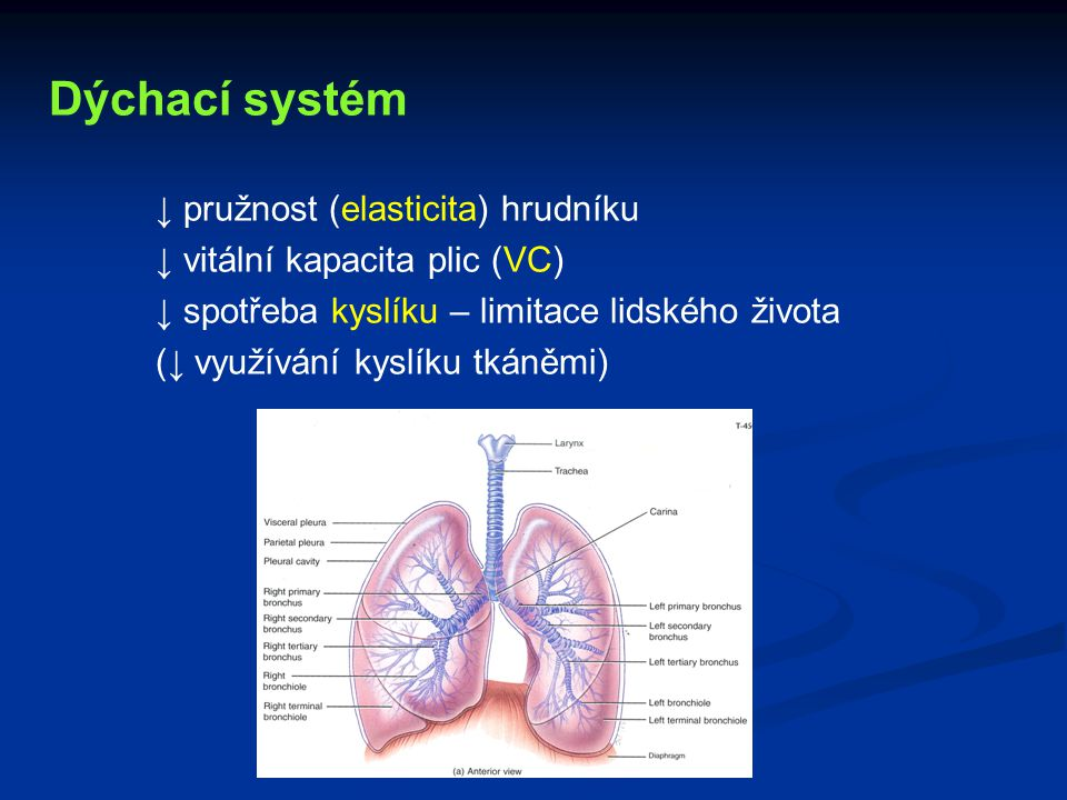Dýchací systém ↓ pružnost (elasticita) hrudníku ↓ vitální kapacita plic (VC) ↓ spotřeba kyslíku – limitace lidského života (↓ využívání kyslíku tkáněm